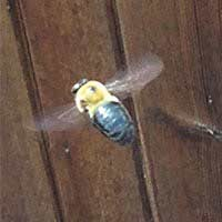 Carpenter Bee Elimination in Rhode Island