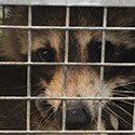 RI Raccoon Control