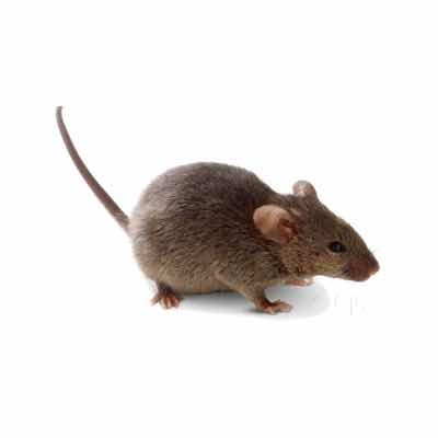 rodent removal in mesa az