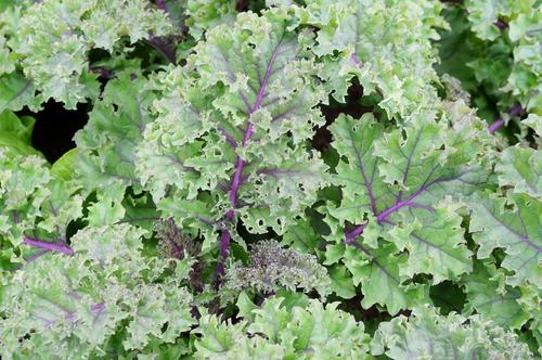 wild kale