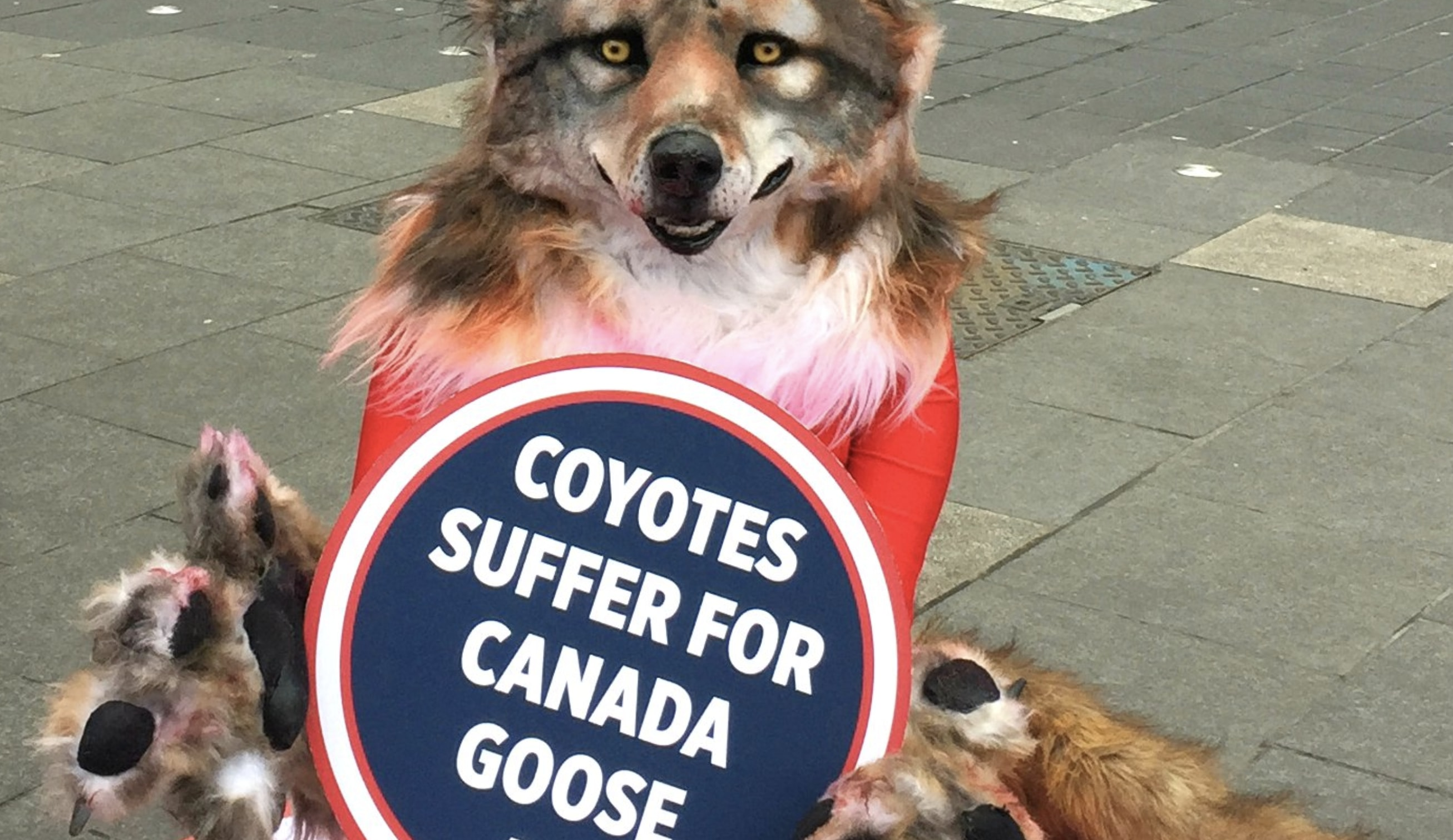 canada goose uses dog fur
