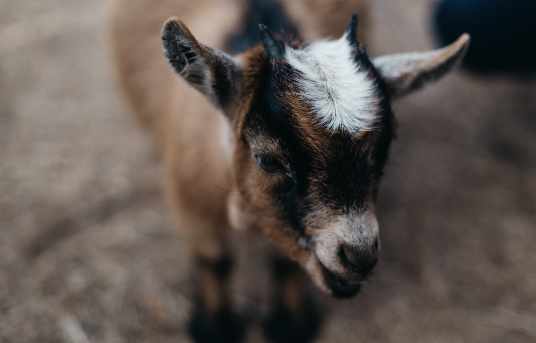 List of Synonyms and Antonyms of the Word: two faced goat