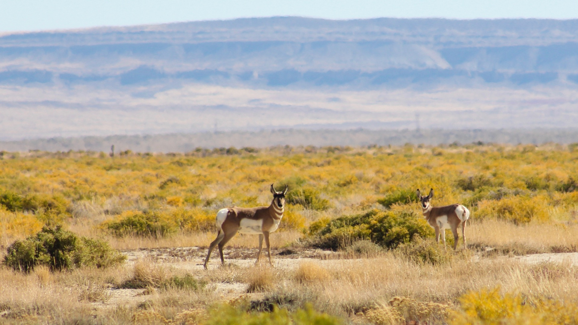 Pronghorn Antelope on the property