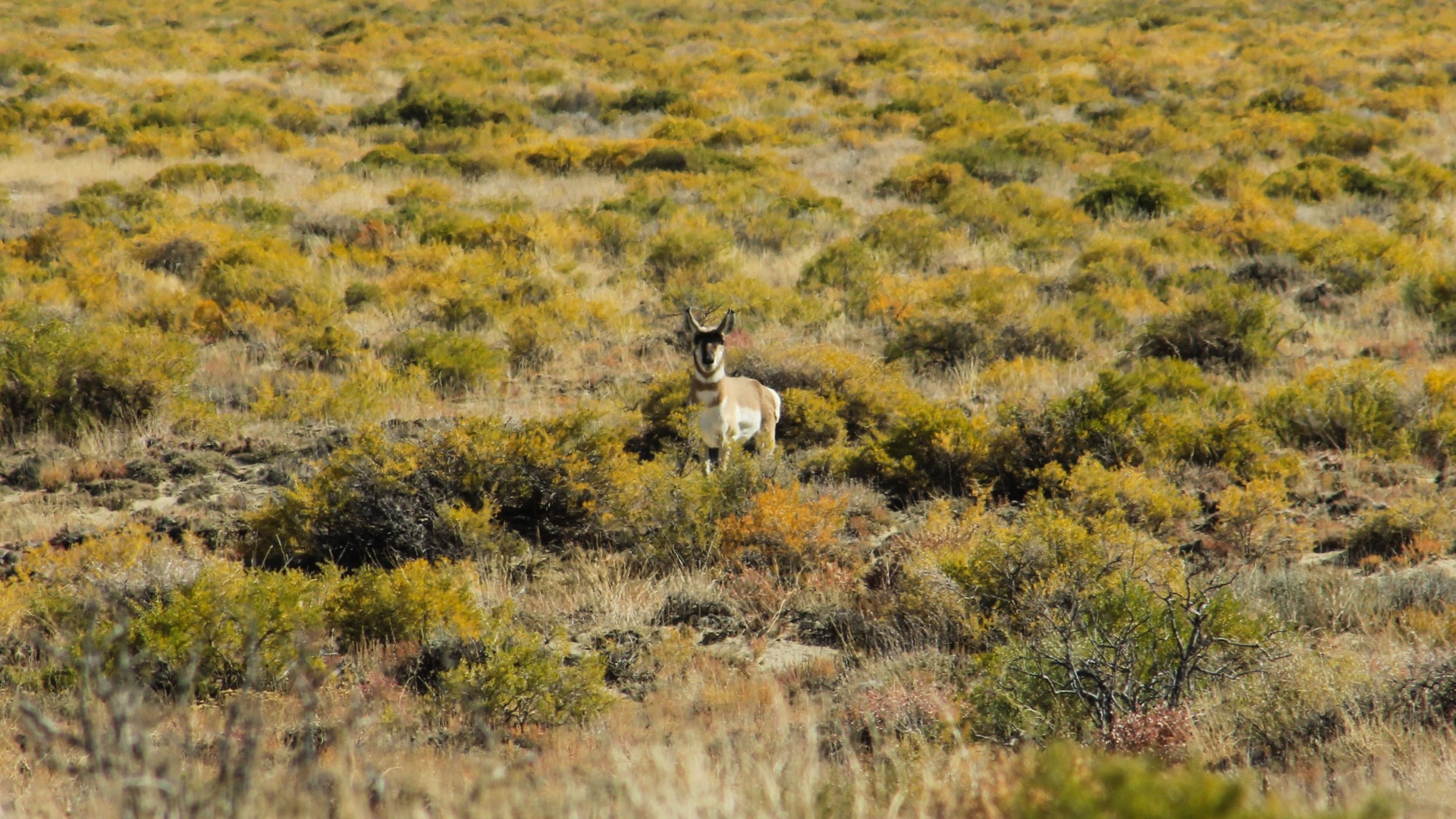 More Antelope on the property