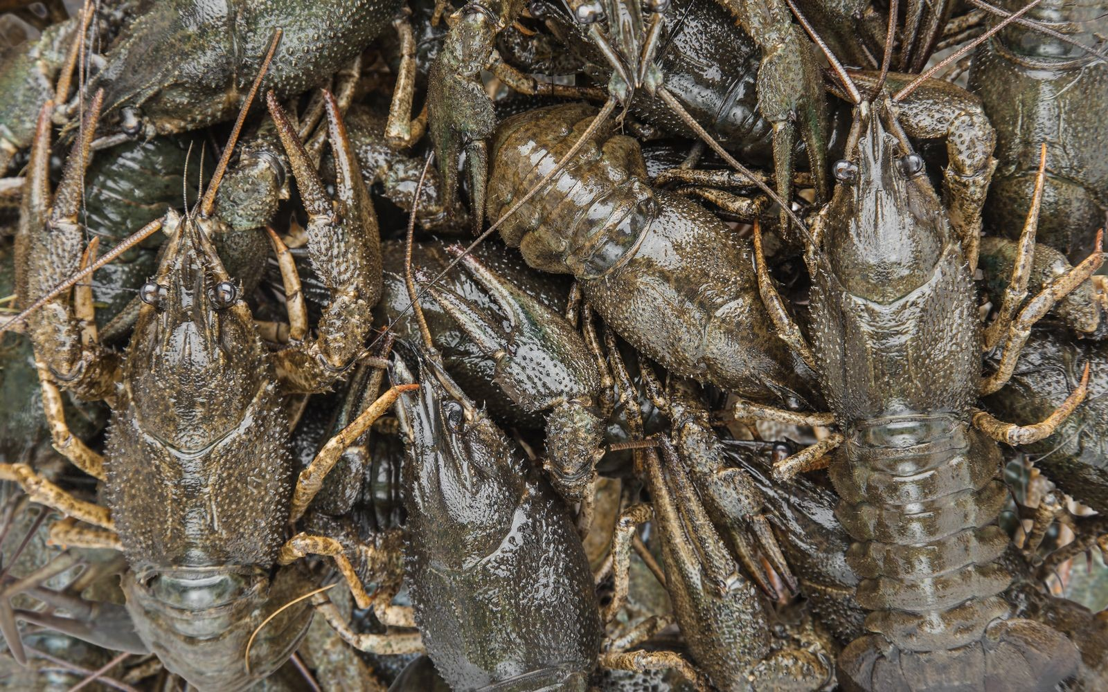 Learn How Restaurants Store Year Round Crawfish to Keep Them Fresh