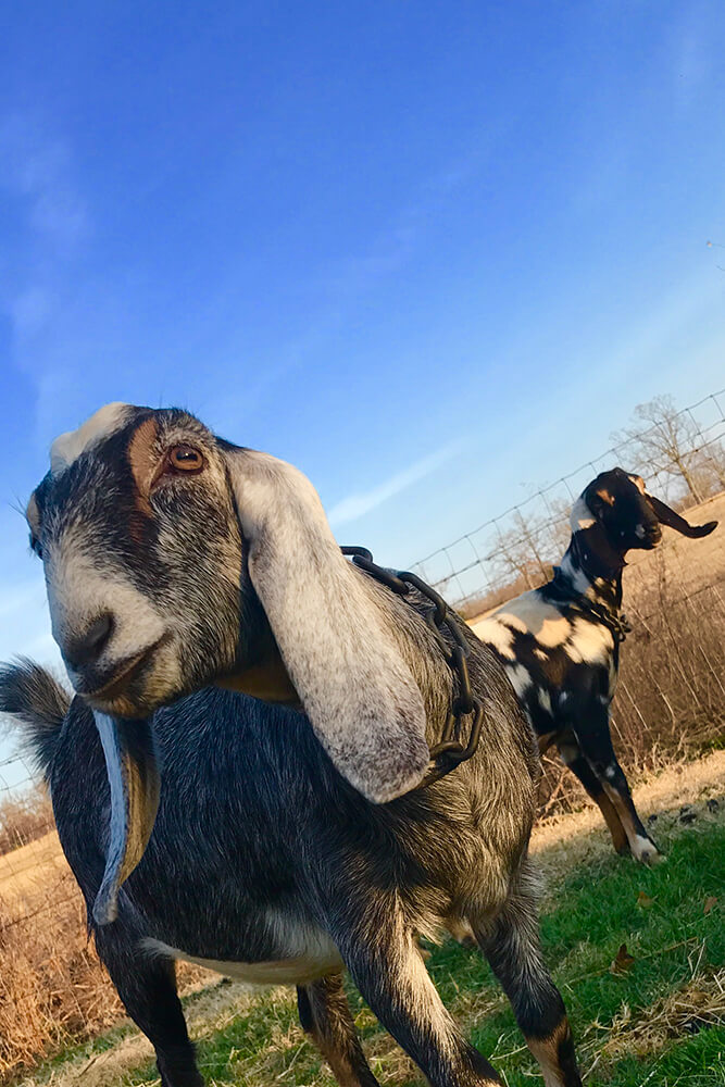 You've probably heard that goats will eat anything, but that's not really true. (Photo: Jennifer Zehnder)
