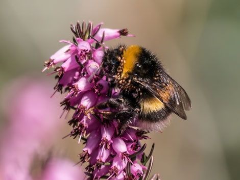 Bee on Calluna