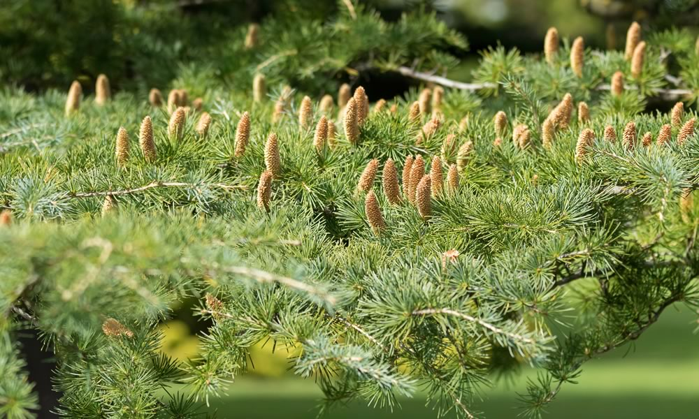 Five Things You Need To Know About Cedar Fever