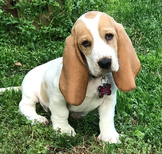 buffy basset hound