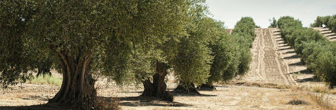 Photo of olive trees in Italy