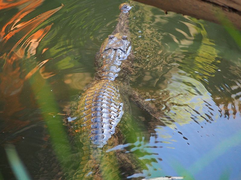 A freshwater crocodile, seen at Windjana Gorge