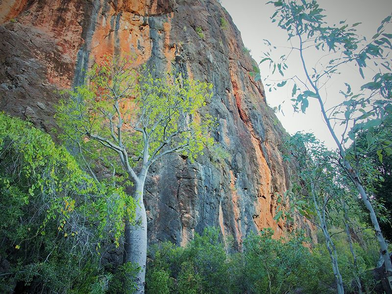 The red rock walls of Windjana Gorge tower over a boab tree
