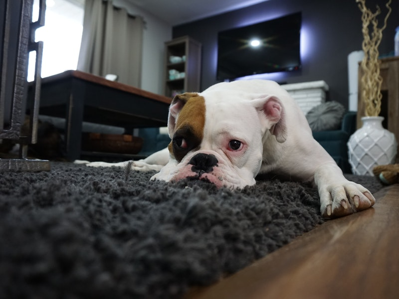 bulldog laying on carpet