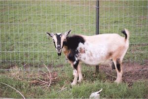 Woven Wire Goat Fence