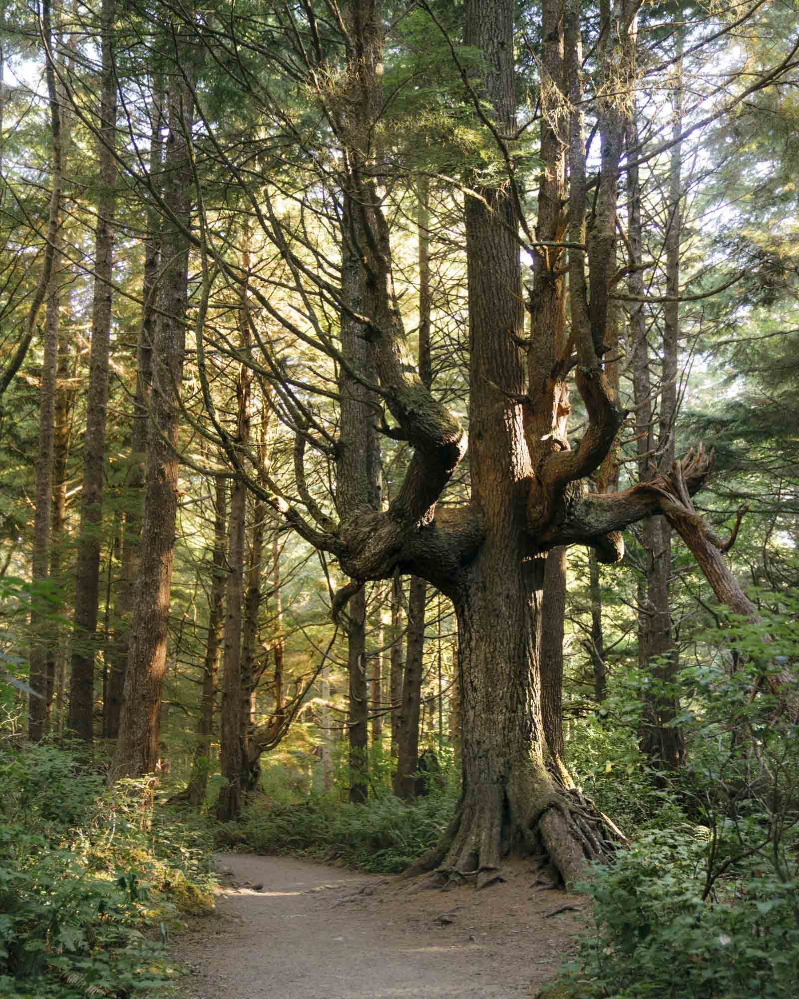 Tree in Forest inside Olympic National Park.