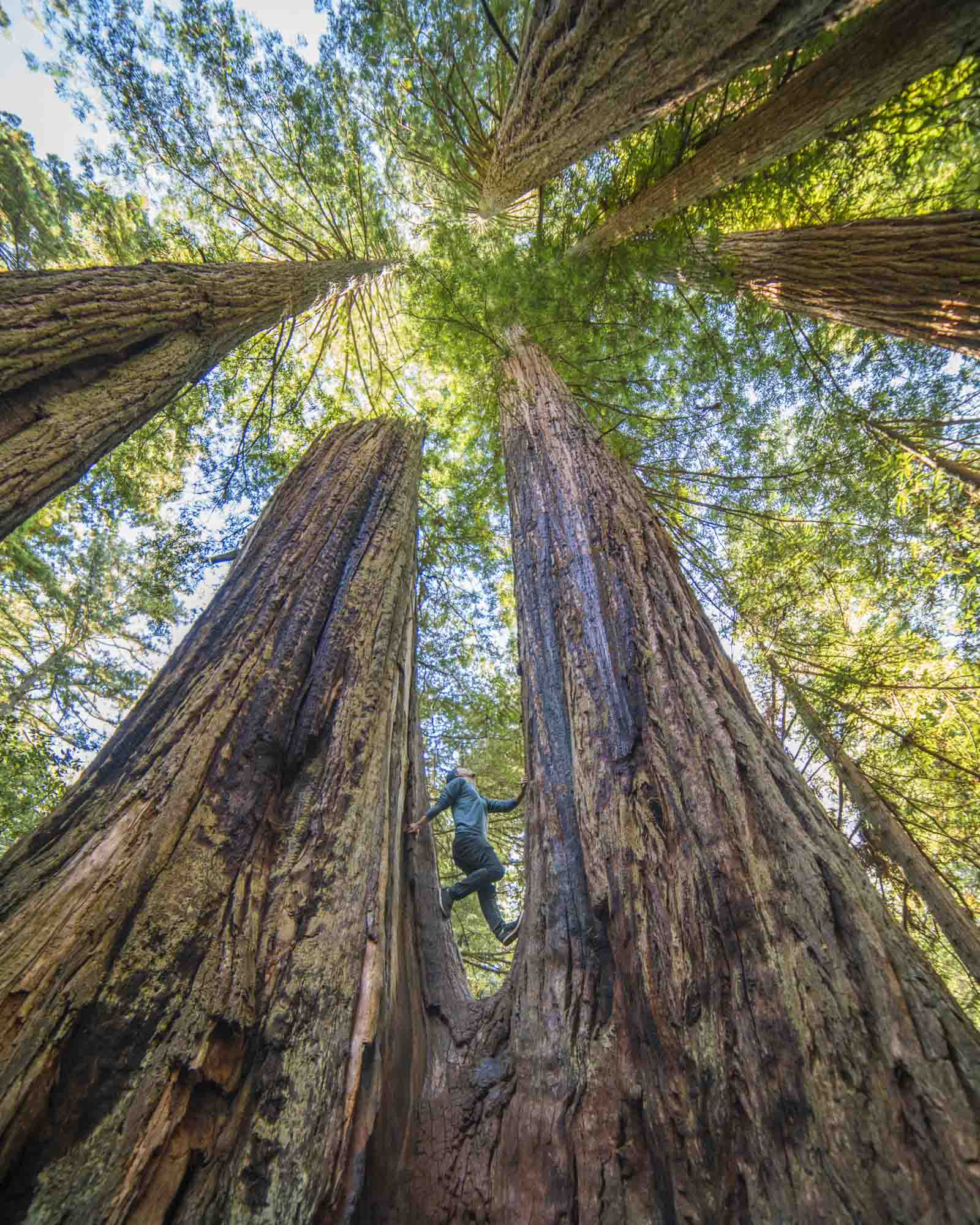 a person climbs between two redwood trees in redwood national park for dirt road travels