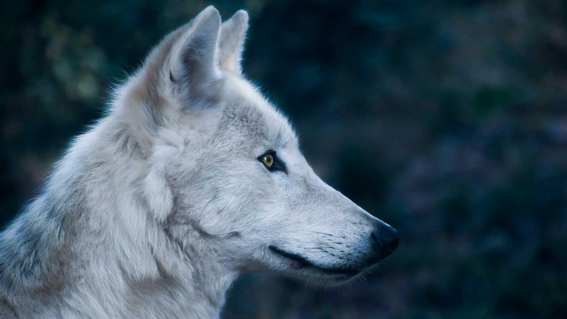 5 ferramentas de coaching para entender melhor o seu coachee na prática - testes dos bicho perfil do lobo