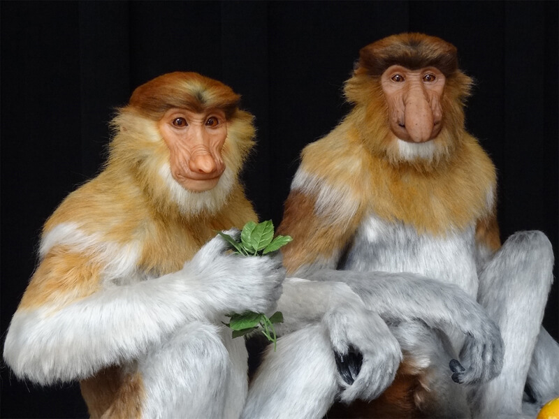 Probiscis Monkies