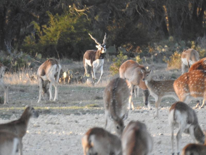 Texas Blackbuck Hunts, Black Water Guide Service