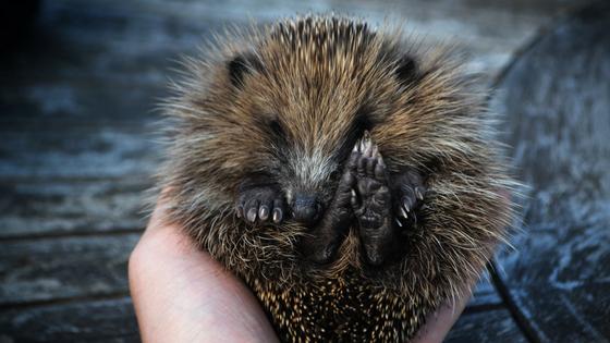 Hedgehog protecting itself