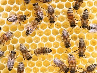 Dr. Callewart Beekeeping