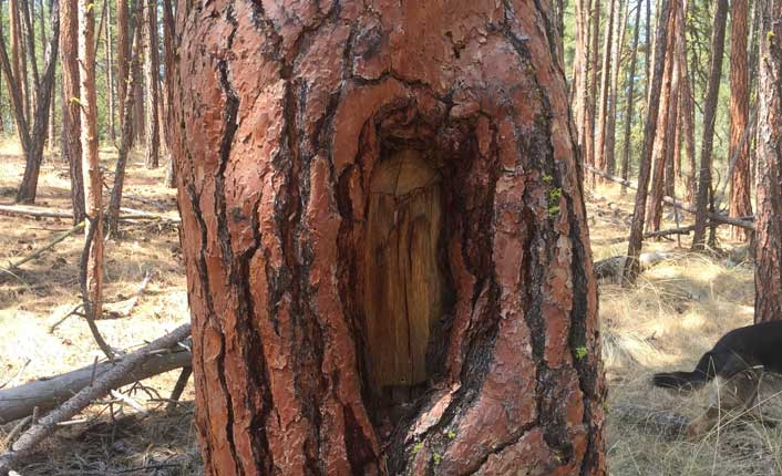 This Ponderosa Pine bears scars from use by native peoples. Photo by FIve Valleys staff.