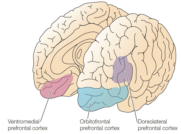 Sketch of the brain